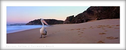 Pelican, Turimetta Beach