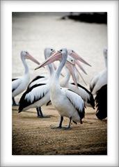 pelican_terrigal
